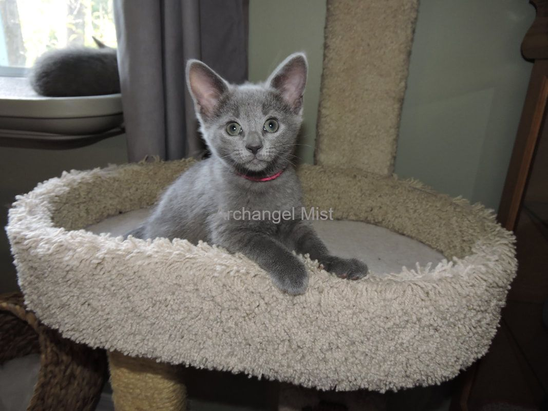 Archangel Mist Traditional Russian Blue Cat - Home of the